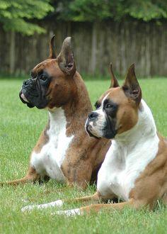 Boxer pals