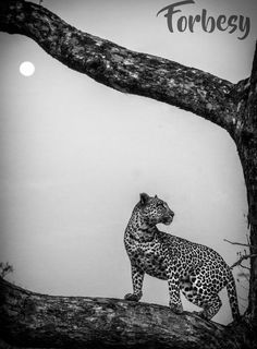 I watched this young female leopard grow up. I saw her lose 3 cubs. But in this shot with the moon behind her before any of the above had happened she had the world at her feet. Adventure Outfit, Young Female, Cubs, Graphic Art, Moon, Shit Happens, Black And White, Creative, Photography