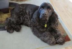 Hershey121 is an adoptable Cocker Spaniel Dog in Twin Lakes, WI. Hershey is a three year oldvery happy go-lucky-boy, not to mention a handsome fellow! Hershey came to rescue to have heartworm treatme...