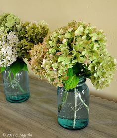 hydrangeas - why do they grow in vacant lots, yet i can't make them grow at all? love them!
