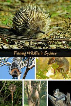 Sydney Animals – Where to See Australian Native Wildlife in Sydney Sydney Australia, Australia Travel, Victoria Australia, Australian Parrots, Forest Habitat, Australia Animals, Airlie Beach, Cairns, Animals
