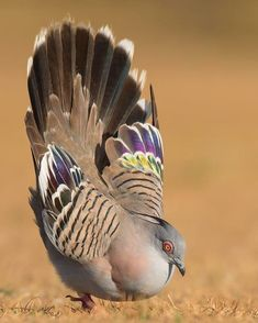 Flying Jewels, God`s Awesome & Gorgeous Creation. Beautiful Birds, Animals Beautiful, Crested Pigeon, Hope Is The Thing With Feathers, Mundo Animal, Bird Pictures, Beautiful Creatures, Bird Houses, Bird Feeders