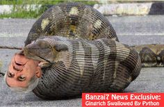 Gingrich Swallowed by Python