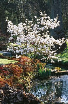 Magnolia stellata (Magnolia), hardy to Zone protect from winter winds for beautiful early blooms White Magnolia Tree, Magnolia Trees, Dwarf Magnolia, Deciduous Trees, Trees And Shrubs, Flowering Trees, Garden Shrubs, Garden Trees, Garden Plants