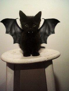 Cat Vampire. Chaton ailé.