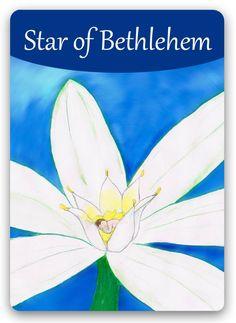 "Bach Flower: Star of Bethlehem - ""Find your soul comfort"" Reiki, Bach Flowers, Online Cards, Healing Codes, Sacred Plant, Star Of Bethlehem, Angel Cards, Flowers Online, Oracle Cards"