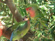 Peach-faced Lovebird Juvenile Begging - Carroll Lam