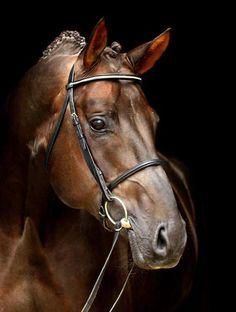 The Oldenburg Horse Breeders Society Most Beautiful Horses, Pretty Horses, Animals Beautiful, Horse Face, Chestnut Horse, Horse Portrait, Majestic Horse, Dressage Horses, Oldenburg