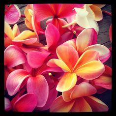 Plumerias in Hawaii