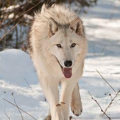 http://www.hdwallpapersinn.com/wp-content/uploads/2014/11/Arctic-Wolf.jpg