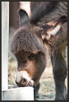 Wee little donkey with a bowl cut! Baby Donkey, Cute Donkey, Mini Donkey, Barnyard Animals, Cute Baby Animals, Animals And Pets, Doma Natural, Burritos, Animal Kingdom
