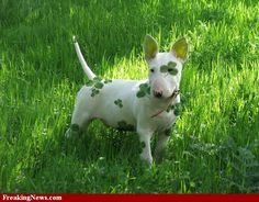 St Patty's cuteness for white pups.