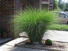 miscanthus sinensis gracillimus - maiden hair grass