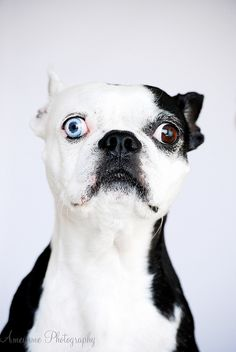This little cutie reminds me of my very own Boston Terrier. My little one also have half a face white, with one blue eye. I Love Dogs, Cute Dogs, Chihuahua, Continental Bulldog, Boston Bull Terrier, Dog Shaming, Beautiful Dogs, Dog Care, Dogs And Puppies