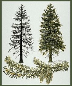 I want a tattoo of a douglas fir tree.