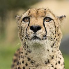 (via Cheetah Series by Colin Langford / 500px)