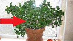 Túto rastlinu by mal mať doma každý: Nemusíte ju kupovať, stačí 1 list a takto ľahko ju rozmnožíte – bude vám slúžiť roky! Crassula Ovata, Jade Plants, Winter Season, Planting Succulents, Feng Shui, Indoor Plants, House Warming, Roots, Planter Pots