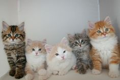 Kitten Album Litter Q Siberian Kittens, Siri, Album, Pets, Animals, Animales, Animaux, Animal, Animais