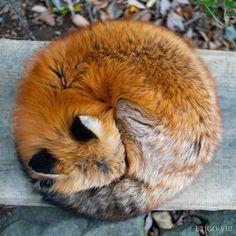 Please follow Foxball #littlefox #babyfox #kit #kitten #foxlove #ilovefoxes #fox #foxes #füchse #fuchs #renard #renards Cute Wild Animals, Animals And Pets, Funny Animals, Fierce Animals, Nature Animals, Cute Creatures, Beautiful Creatures, Animals Beautiful, Fantastic Fox