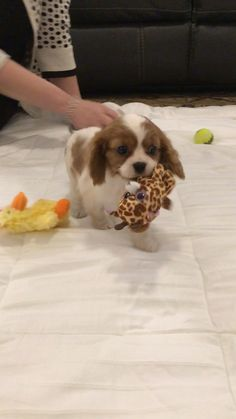 """Acquire excellent suggestions on """"American cocker spaniel"""". They are actually available for you on our web site. Cavalier King Spaniel, Cocker Spaniel Puppies, Spaniel Dog, Spaniels, Clumber Spaniel, King Charles Puppy, Cavalier King Charles Dog, Cute Baby Dogs, Cute Dogs And Puppies"""