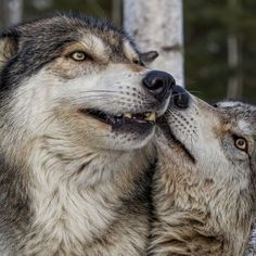 """Wolves"" by CJM Photography"