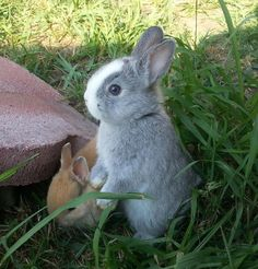 pictures of minnie Rex Rabbits | Full Grown Mini Rex Rabbit Beautiful breed rabbits