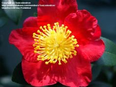 Full size picture of Sasanqua Camellia, Autumn Camellia 'Yuletide' (Camellia sasanqua)Type of plant: Shrubs  Bloom color: Red  Bloom time of year: Mid Fall, Late Fall/Early Winter  Sun requirements: Light Shade  Cold hardiness: Zone 7a to Zone 10b  Height: 4-6 ft. (1.2-1.8 m), 6-8 ft. (1.8-2.4 m)