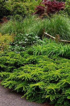 Emerald Spreader® Japanese Yew Taxus cuspidata 'Monloo' P.P. #10,335