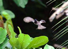 Bulbul doing a hummingbird act by safekeeping215 via http://ift.tt/2dWntiu
