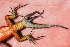 Lizard Grows a Third Tail Spotted in June 2015 in Kosovo, this blue-throated keeled lizard has three tails, likely a glitch in its regeneration process. The freak individual, besides being a first in the species, is among only a handful of triple-tailed lizards recorded worldwide.