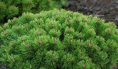 Pinus mugo teeny - Google Search Small Evergreen Shrubs, Evergreen Landscape, Trees And Shrubs, Trees To Plant, Evergreen Garden, Small Space Gardening, Small Garden Design, Mugo Pine, Pine Bush