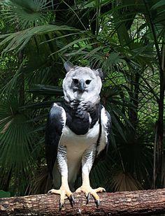 La arpía mayor, águila harpía o simplemente harpía (Harpia harpyja) también conocida como Sulubagi en lengua kuna, es uno de los animales más emblemáticos de las selvas húmedas de América Central y del Sur, de donde es endémica. Su nombre proviene del griego Harpe, que en la mitología representaba un monstruo con alas, garras afiladas y rostro de mujer cuyos excrementos emitían un olor muy desagradable que dañaba todo lo que tocaba.