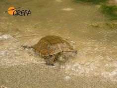 Galápagos Próximamente iremos con algunos de sus padrinos a liberar galápagos leprosos. Si tú también quieres apadrinar un galápago y acompañarnos en esa liberación … ¡¡esta es tu oportunidad!! http://buscopadrino.grefa.org/producto/galapagos/