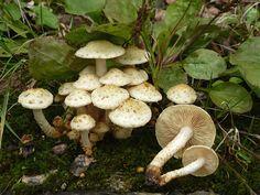 Pale straw mushroom - Pholiota gummosa