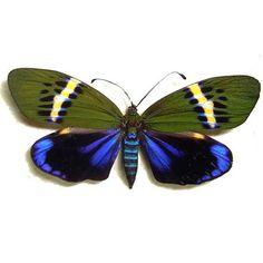 Eterusia repleta Real Moths, Spread for your project or laminated or unmounted Types Of Butterflies, Beautiful Butterflies, Butterfly Pictures, Butterfly Cards, Owl Bird, Pet Birds, Pictures Of Insects, Moth Caterpillar, Bird Wings