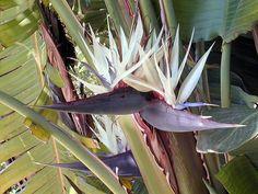White Bird of Paradise - Strelitzia nicolai