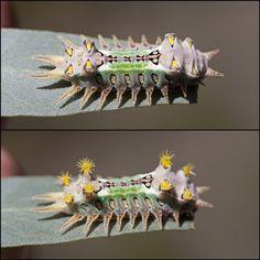 Doratifera oxleyi (cup moth) caterpillar