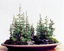 The Journal of the Toronto Bonsai Society