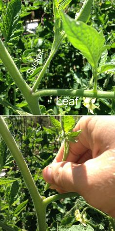 "Snipping off the ""suckers"" from a tomato bush will help the plant to focus its power on the rising fruits instead of the leafs, Growing better, healthier fruit. Clipping any branches off at the bottom of the tomato plant that is reaching the ground helps to ward off insects and mostly disease, such as blights…"