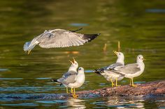 It has no head! - A possible conversation among Ring-Billed Gulls in N. The World's Greatest, Fine Art America, Wildlife, Birds, Gulls, Artist, Nature, Photography, Ontario