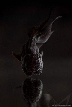Gold Fish-Black Oranda