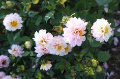 Beautiful pink flowers at Whatley Manor, Malmesbury.