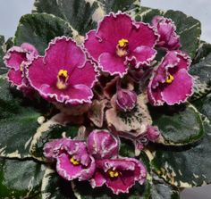 Ness Pixie Grin Semi Miniature African Violet Flowers
