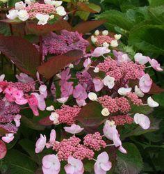 hydrangea macrophylla dolce gipsy ou hortensia rose à fleurs plates pot 3L