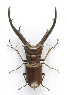 Stag beetle .Cyclommatus metallifer . SE Asia :   Males with larger mandibles outcompete males with smaller mandibles , and have greater access to females . This has driven the evolution of increasingly larger, more elaborate mandibles .  Male beetles commonly develop extravagant weaponry but it has been shown that there is a price to be paid. Growth of these oversize horns or mandibles appears to trade-off with reduced growth of other structures such as eyes, antennae, wings and genitalia.