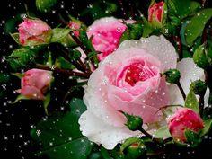 After rain beauty pink red roses buds blossom garden . Pink Rose Bouquet, Pink Rose Flower, No Rain No Flowers, Love Flowers, White And Pink Roses, Red Roses, Ronsard Rose, Rose Illustration, Flower Close Up