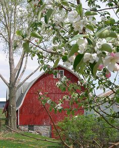 Red Barn With Apple Blossoms Country Barns, Country Living, Country Life, Country Charm, Apple Farm, Apple Orchard, Barns Sheds, Farm Barn, Farms Living