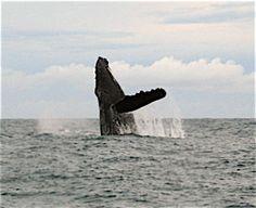 Kauai Sea Rider Adventure Tours - Whale watching tour.  Marine Biologist guide