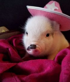 Paisley, Male – Order Teacup Mini Pigs Online