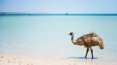Paddling Emu off the coast of Shark Bay - Monkey Mia Western Australia Australian Animals, Emu, Western Australia, Perth, Adventure Travel, Shark, Monkey, Places To Visit, Coast